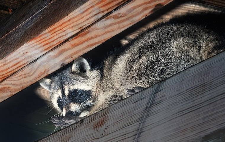 a raccoon in the eaves