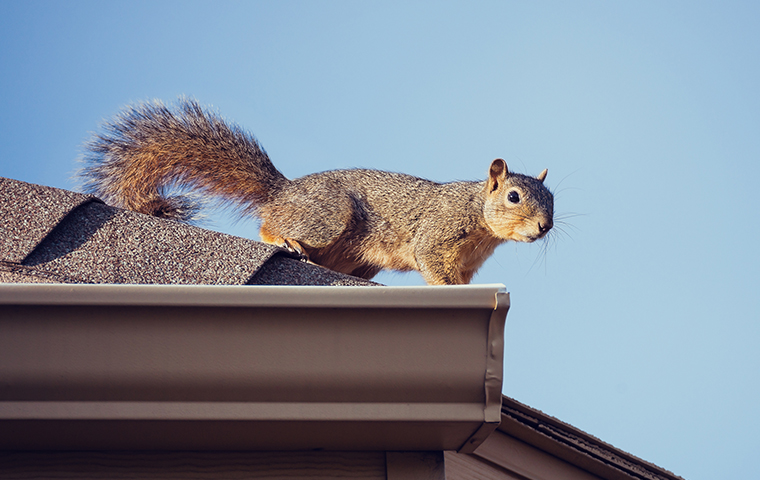 a squirrel standing on a house rooftop in fortuna california