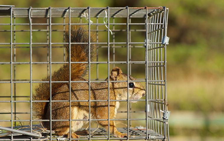 a squirrel inside a trap outside a california residence