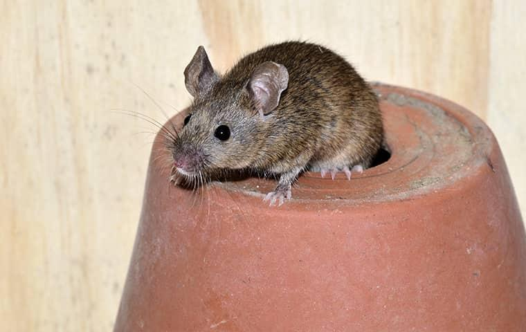 a house mouse crawling through the draining whole of an upside down flowerpot in an eureka home