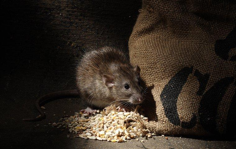 a norway rat eating outside of a pantry