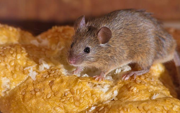 a small but very hungry house mouse raiding the food pantry to store in the walls of a eayeka california home