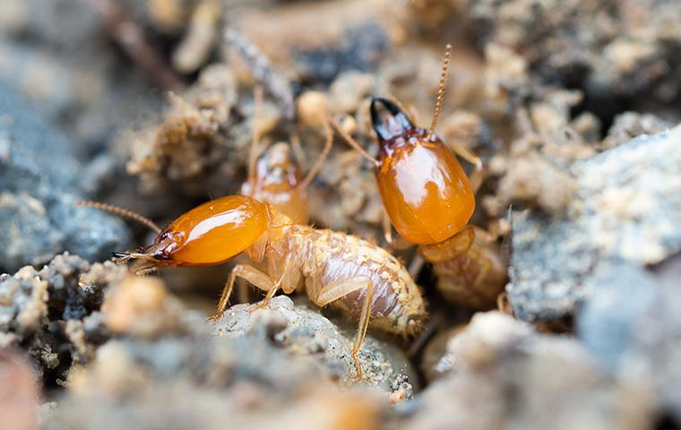 two adult termites emerging from the soil around a home in fortuna california