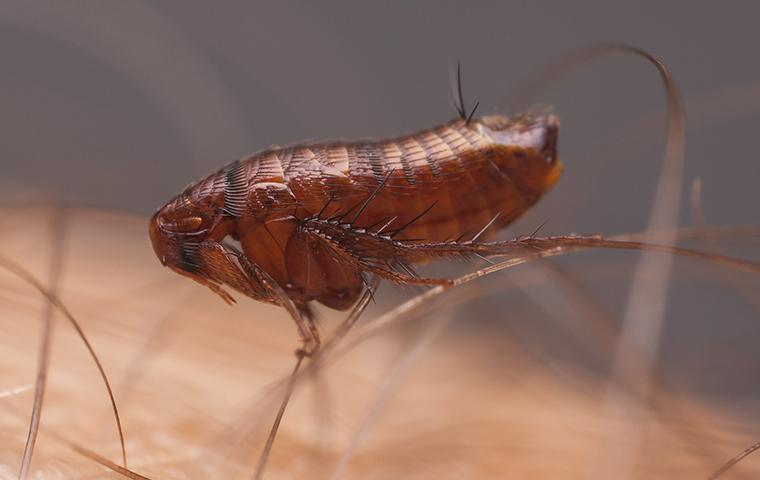 close up of a flea hanging onto human hair