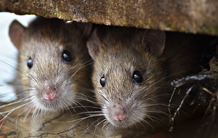 close up of two brown rats crawling in california home