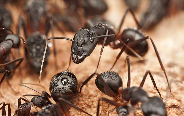 close up of black ants crawling around a fortuna home