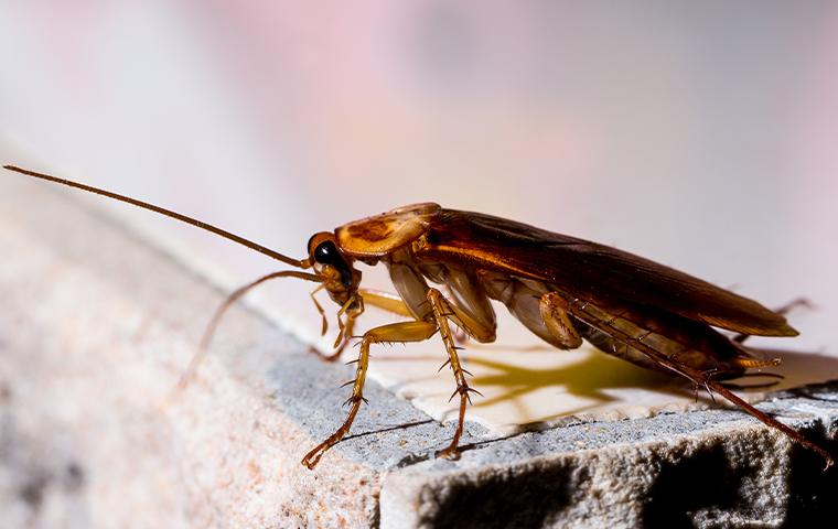 close up of a brown cockroach crawling on a california residential property
