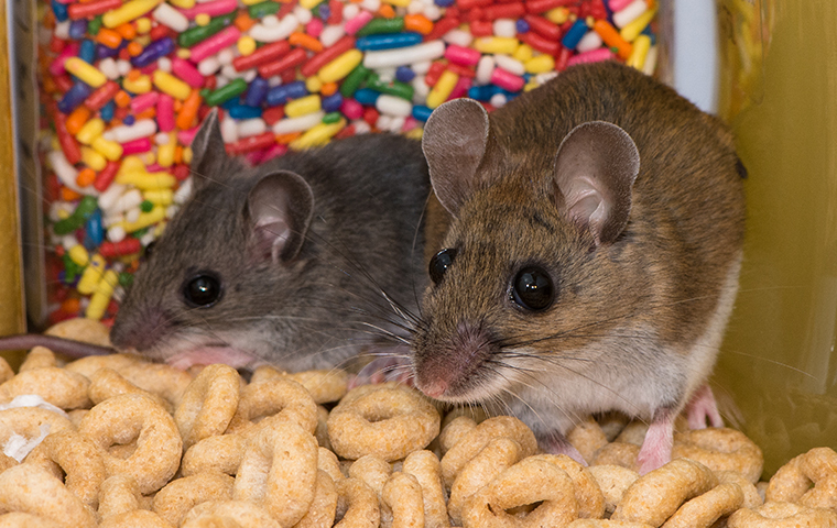 two brown mice crawling on breakfast cereal in a california home