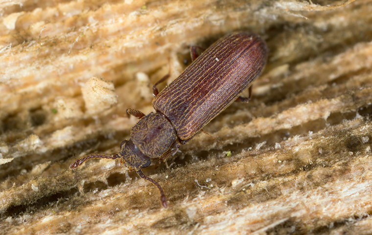a powder post beetle crawling on damaged wood in california