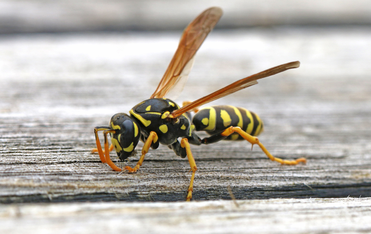 close up of a black and yellow striped stinging insect