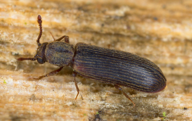 a powder post beetle crawling on damaged wood in fortuna