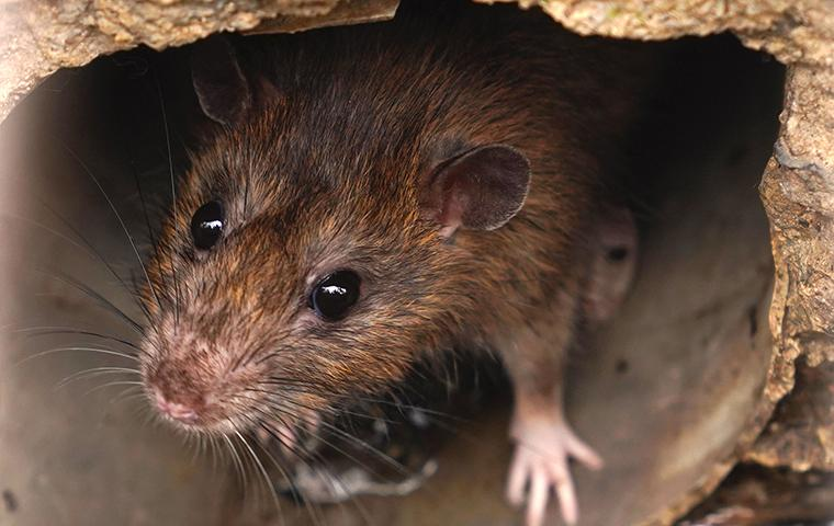 a brown rat crawling through a house drain pipe in eureka