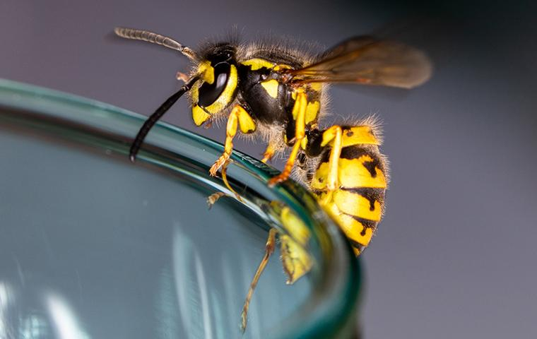 a yellowjacket wasp resting on the rim of a drinking glass