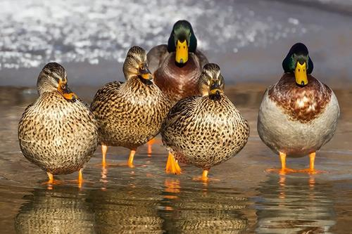 Group of Ducks