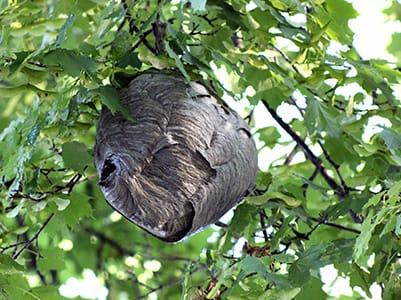 Bald-Faced Hornet Nest in tree