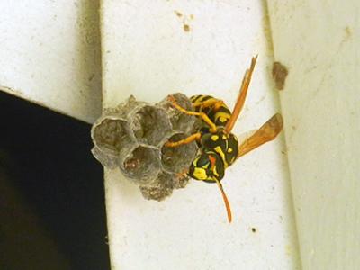 European Paper Wasp - Polistes dominula nest under overhang