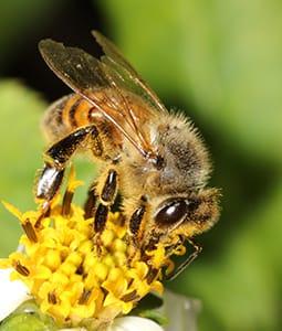Honey Bee - Apis mellifera on yellow flower