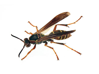 Northern Paper Wasp - Polistes fuscatus on white background