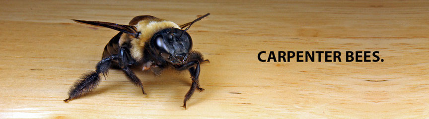 Bees (Carpenter)