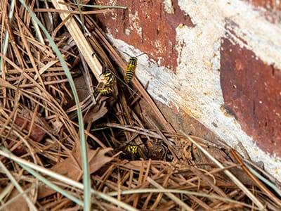 yellowjacket ground nest in mulch near brick wall