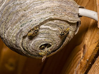 yellowjacket nest under overhang on house