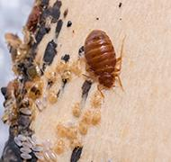bed bugs, eggs, and feces on mattress