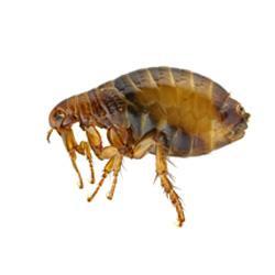 illustration of a flea