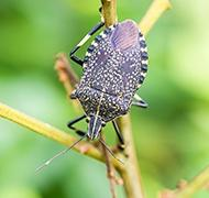 stink bug crawling on plant outside of allentown home