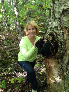 Birch chaga mushroom in the woods of Maine.