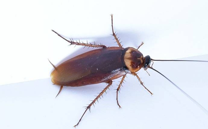 an american cockroach crawling in a kitchen