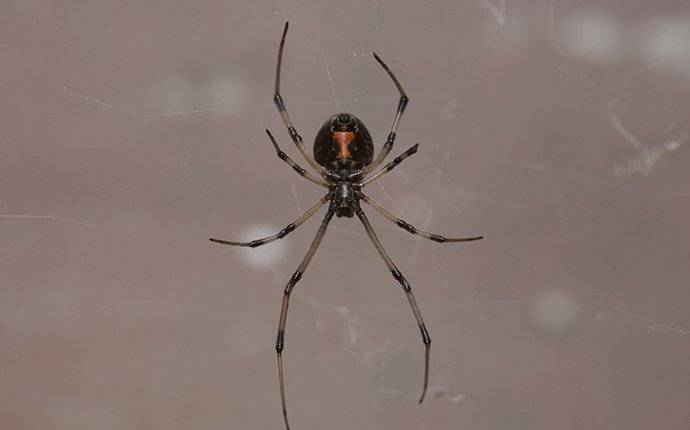 a black widow spider crawling in its web in a window frame