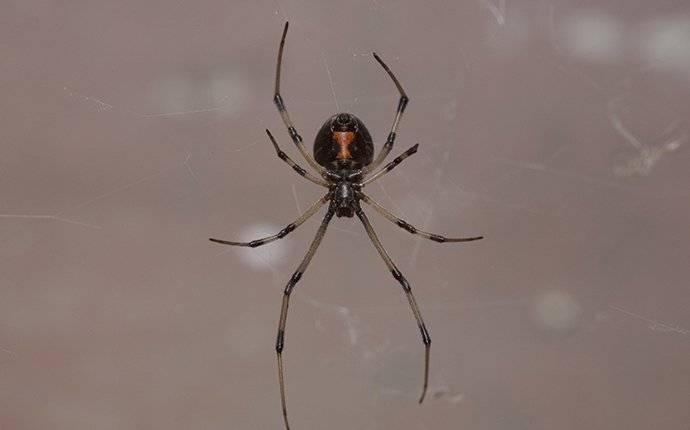 black widow crawling in a kitchen window