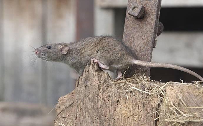 brown rat in garage