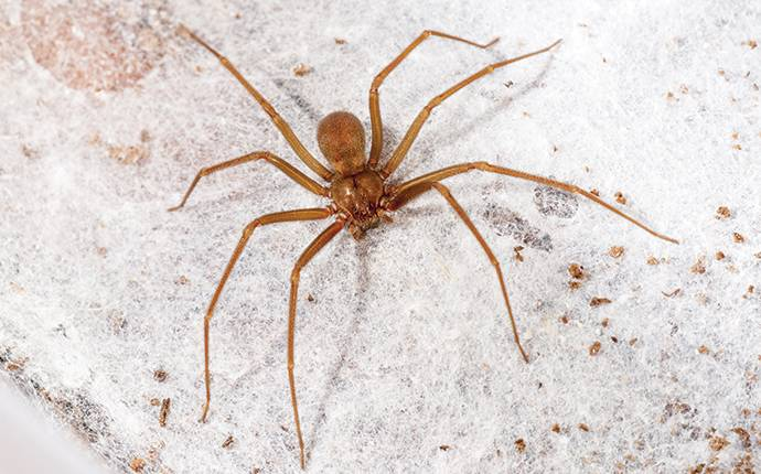 brown recluse in a basement