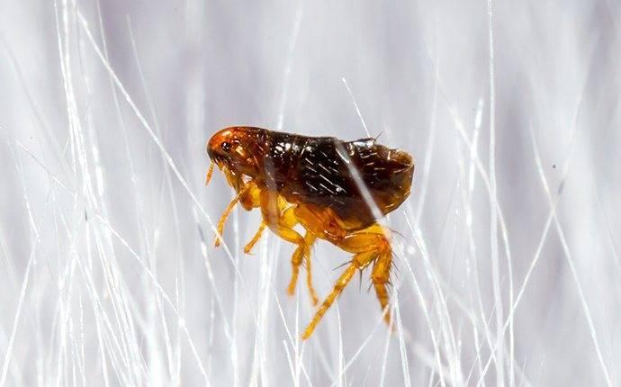 flea jumping through pet hair