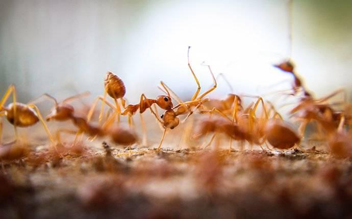 fire ants in a yard