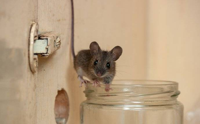 house mouse in a kitchen cupboard in prosper