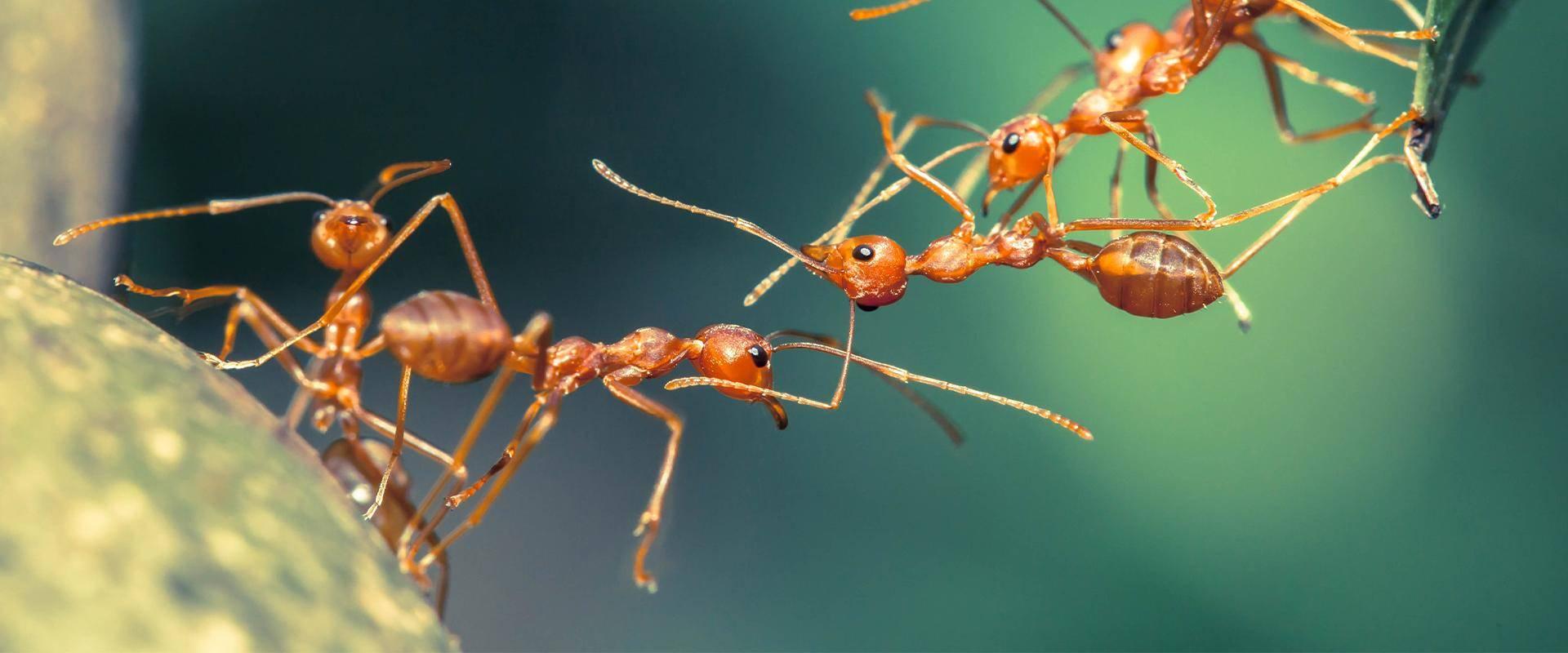 a fire ant bridge