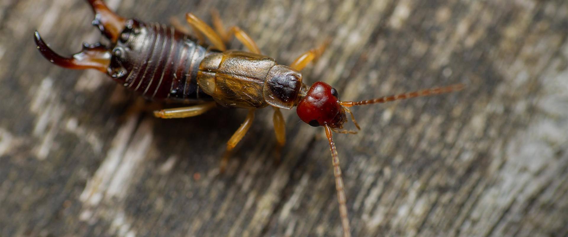 an earwig on wood