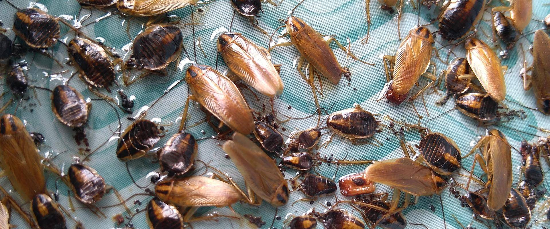 cockroaches on glueboard