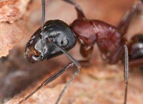 ants in albany new york