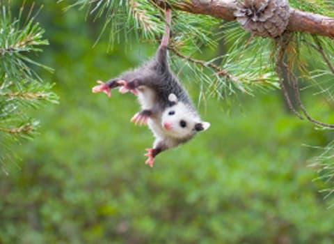 opossum hanging from tree