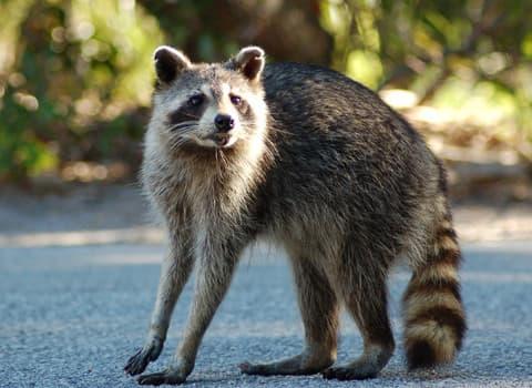 raccoon in road