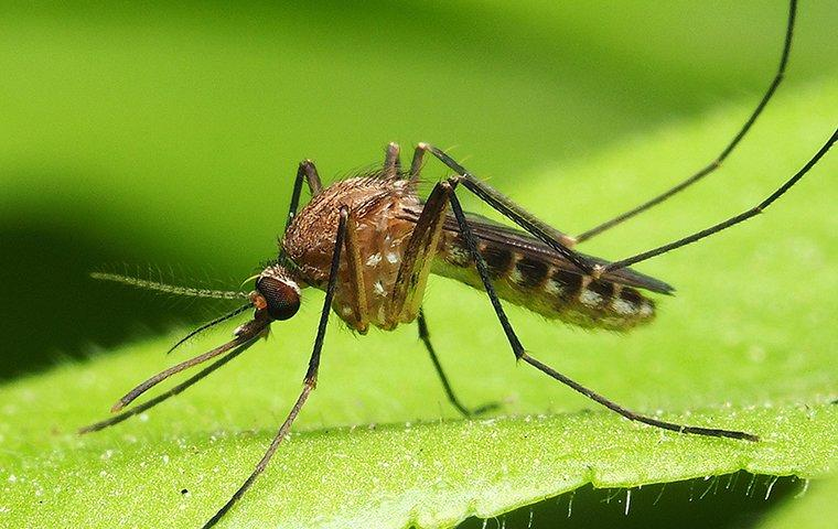 a mosquito perched on a leaf