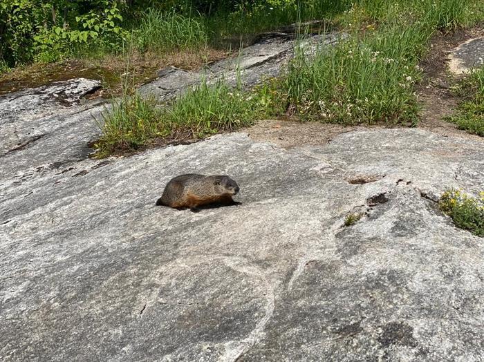 Groundhog at Hart's Falls