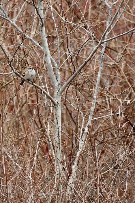 late winter birding - Chipping Sparrow (Credit: Carol A Hill / C A Hill Photo)