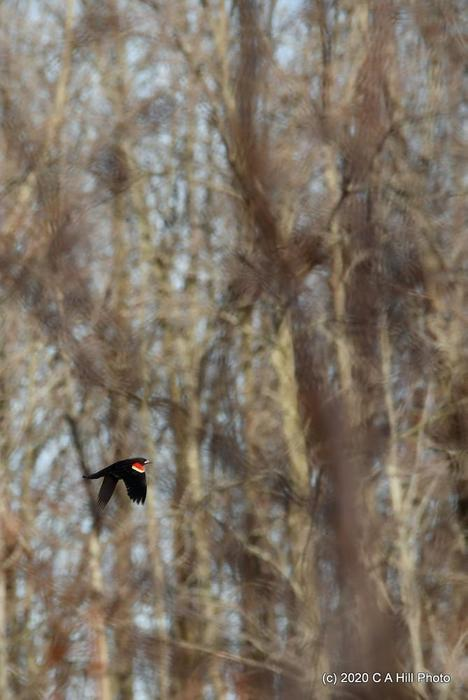 red-winged blackbird (Credit: C A Hill Photo)