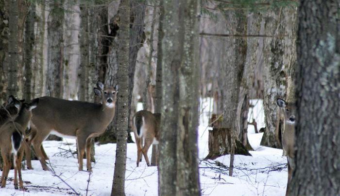 Deer are commonly seen along the trail. (Credit: https://hikingthetrailtoyesterday.wordpress.com/)
