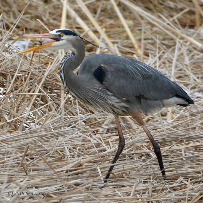 Great Blue Heron Flipping Panfish (Credit: Benjamin Dixon)