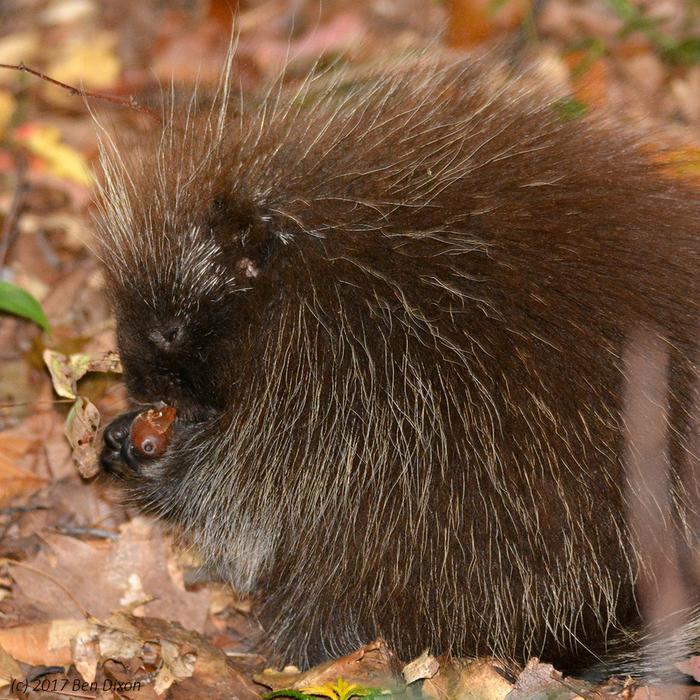 Young Porcupine Eating an Acorn II (Credit: Benjamin Dixon)